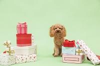 プレゼントボックスとトイプードル 犬