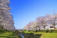 神奈川県 早朝の相模三川公園の桜