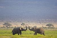 ケニア アンボセリ国立公園 アフリカゾウ