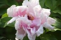 ピンク色のボタンの花