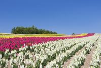 花盛りの四季彩の丘