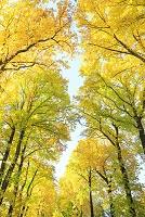 長野県 南箕輪町 ゆりの木黄葉の並木