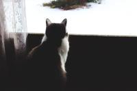 滋賀県 雪の庭を眺める猫