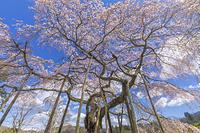 茨城県 小生瀬地蔵桜