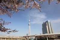 東京都 隅田公園の桜 東京スカイツリーと墨田区役所