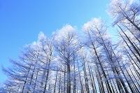 長野県 霧氷の唐松樹林