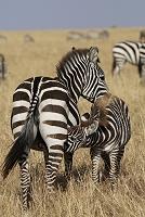 ケニア マサイマラ国立保護区 グラントシマウマの親子
