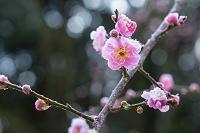 島根県 霜に覆われる紅梅