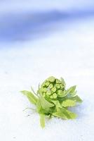 長野県 残雪から顔を出したフキノトウ
