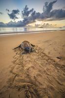 仏領ギアナ ウミガメの子供