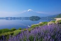 山梨県 大石公園より河口湖と富士山