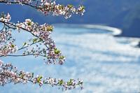 春陽溢れ 輝く入江に 桜咲く