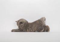 ブリティッシュショートヘア 子猫