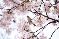 鳥 桜とうぐいす