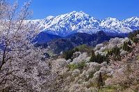 長野県 二反田の桜と北アルプス(鹿島槍ヶ岳)