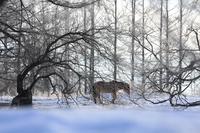 北海道 氷点下の放牧馬