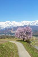 長野県 野平の桜