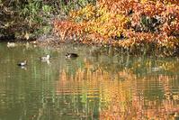 三重県 垂坂公園・谷田池のカモ