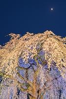 北海道 法亀寺のしだれ桜ライトアップ