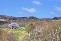 岩手県 宮古市 牧草地の一本桜