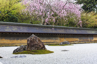 日本 京都府 京都市 龍安寺 桜と石庭