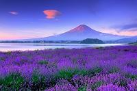 山梨県 ラベンダーと富士山