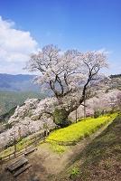 高知県 ひょうたん桜