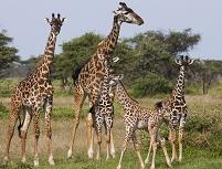 タンザニア キリンの群れ