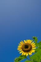 青空のヒマワリ
