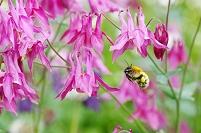 オダマキ爛漫のハチめぐり