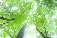 静岡県 富士山麓原生林 霧の中の新緑ブナ林