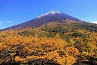 山梨県 奥庭 雪化粧の富士山とカラマツ林の黄葉