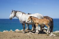 青森県 尻屋崎にて放牧される寒立馬