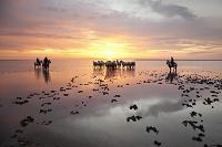 フランス カマルグ 馬の群れ