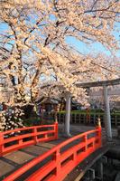 京都府 桜咲く六孫王神社