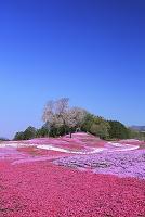 群馬県 みさと芝桜公園
