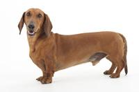 ダックスフンドの成犬