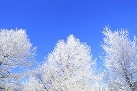 長野県 八島ヶ原湿原 霧氷の木々