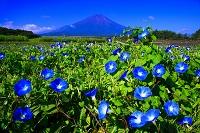 山梨県 富士山とアサガオ