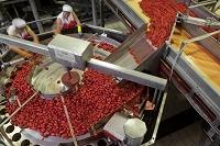 イタリア グラニャーノ トマトソース製造工場