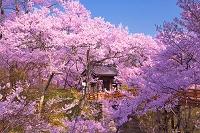 長野県 桜の高遠城址公園