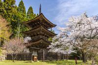 長野県 桜咲く新海三社神社の三重塔