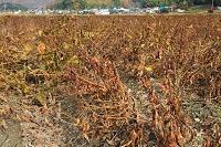 兵庫県 黒大豆畑