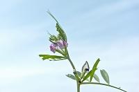 ヤハズエンドウの花と実