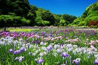 静岡県 はままつフラワーパーク 菖蒲園