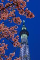 東京都 スカイツリーと河津桜 夜景