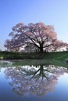 福岡県 浅井の一本桜