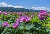 長野県 安曇野の蓮畑