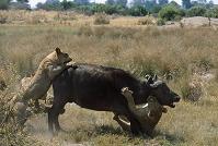 アフリカスイギュウを襲うライオン