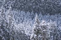 京都 高雄 北山杉雪景色